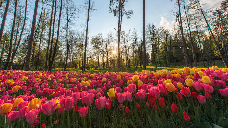 Sun rays through field of tulips HD