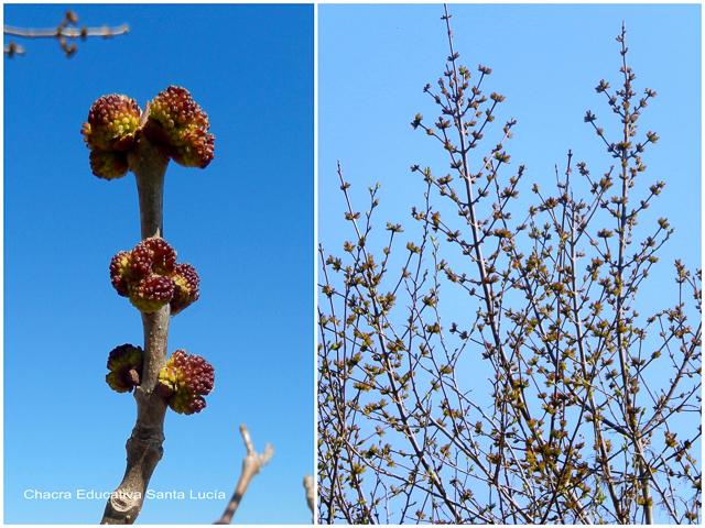 Las ramas de los fresnos están llenas de brotes - Chacra Educativa Santa Lucía