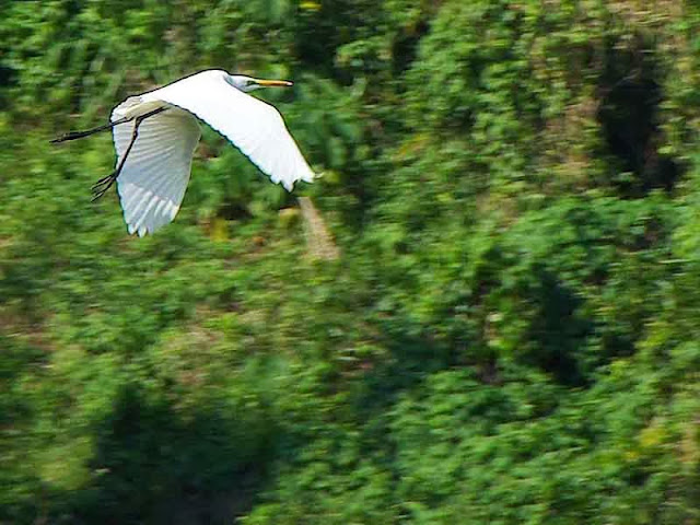 birds,egret,Dam,Japan,flight