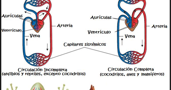 imágenes del sistema circulatorio cerrado