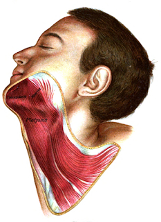 platysma muscle, action, muscle picture