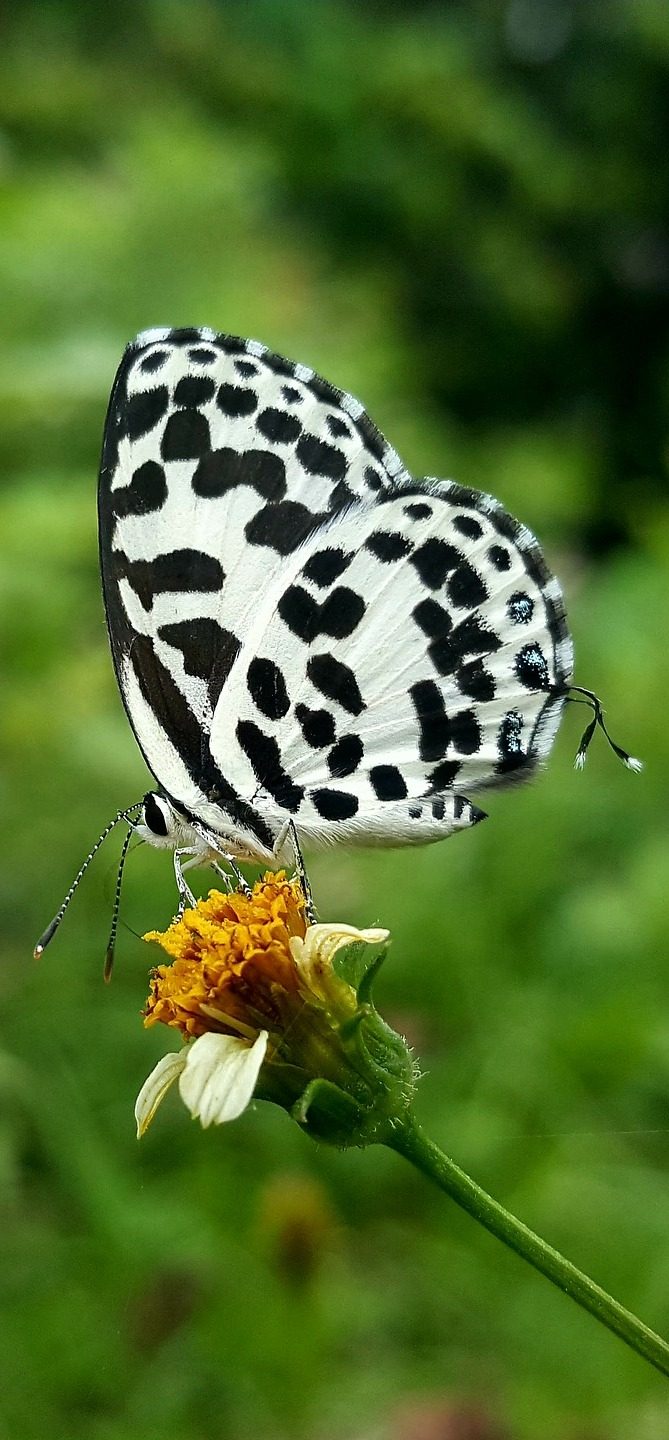 Picture of a common Pierrot (Castalius rosimon).