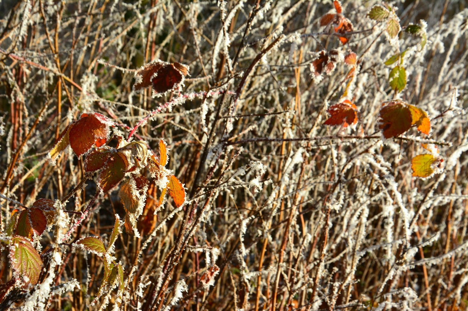 Tree branches with red and brown leaves and frost