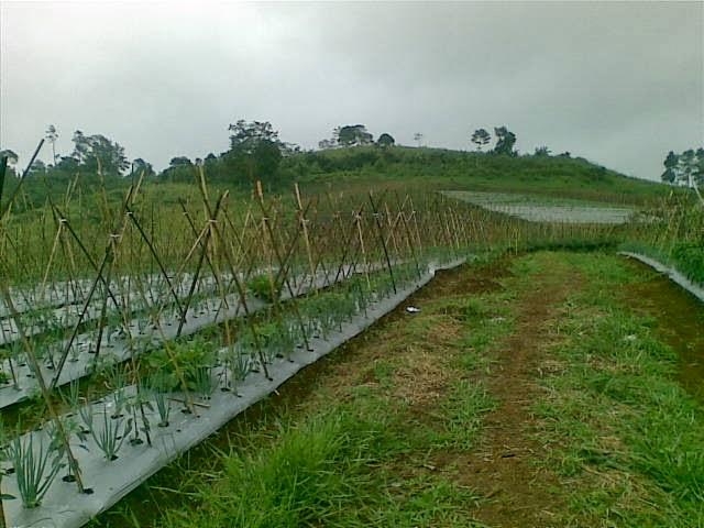 Foto(5193) Jual Tanah Milik | Kebun 23 Ha, Lokasi Puncak jual tanah di puncak