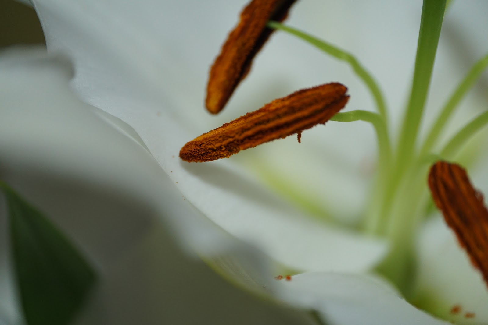 真っ白な百合の花のマクロ撮影