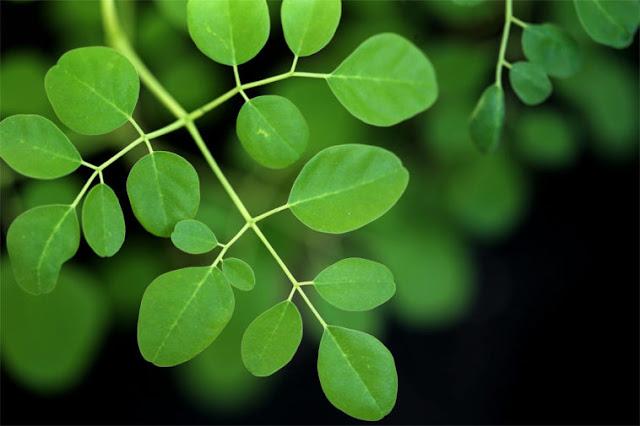 الامراض التي تعالجها شجرة المورينجا