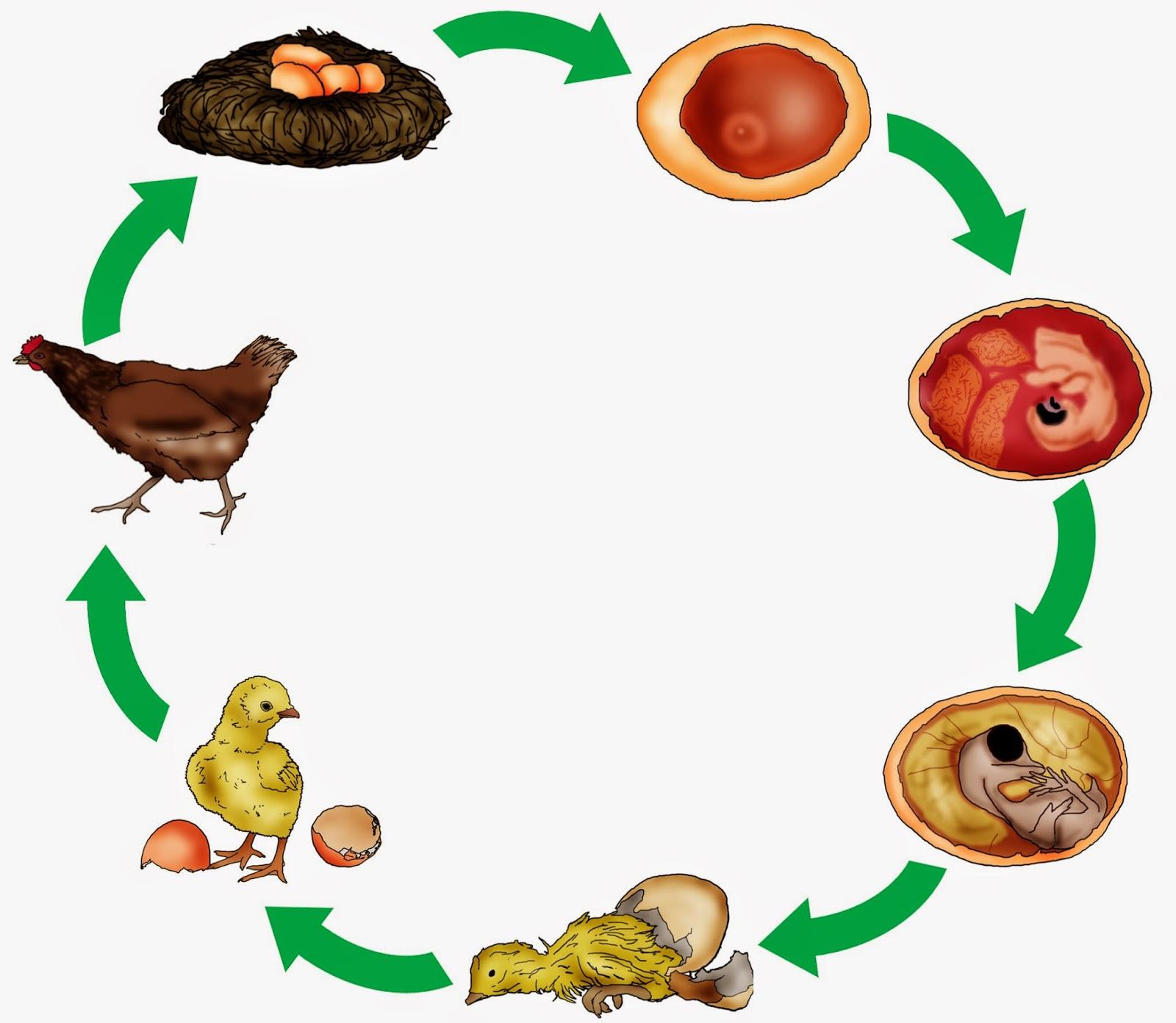 Wie Entsteht Ein Ei Im Huhn