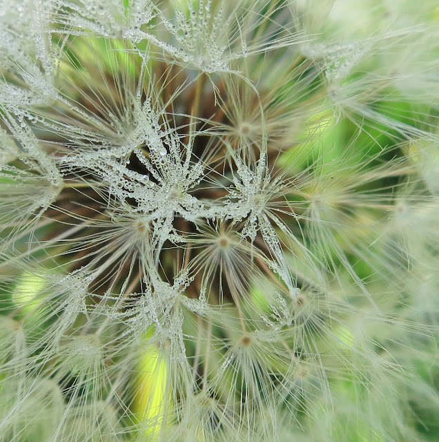 Close up of melted frost drops on dandelion clock