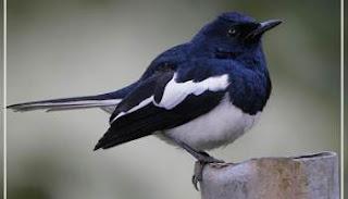 Penangkaran Burung Kacer - Perawatan Khusus Burung Kacer Yang Sedang Drop