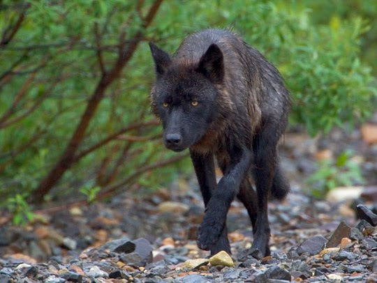 Black Timber Wolf Size