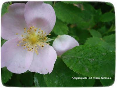 цветущий шиповник, цветок розоцветное, четыре