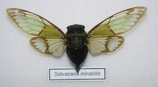 Salvazana mirabilis