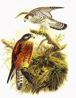 Cernícalo de Aldabra Falco newtoni