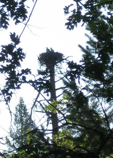 Pair of ospreys in their nest atop a dead tree above Burney Falls.