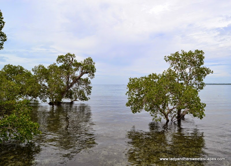 mangroves in the crystal clear waters of Puerto Princesa