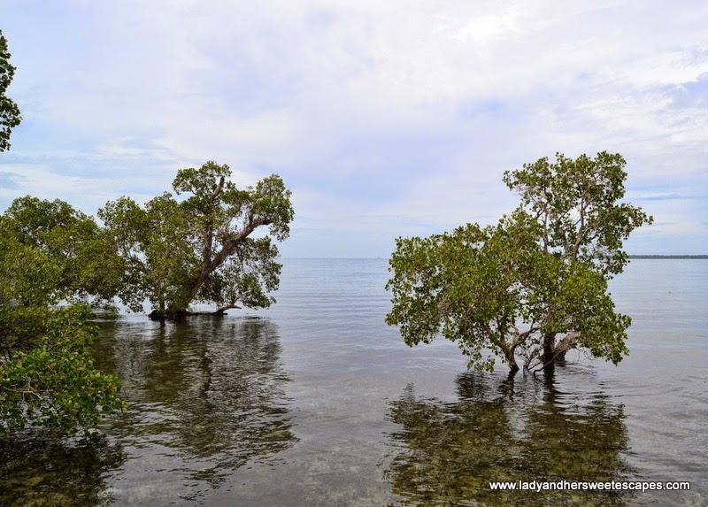 mangroves in the crystal clear waters of Puerto Princesa