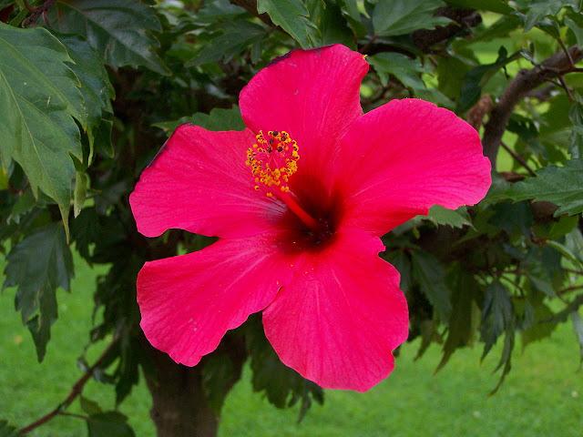 khasiat bunga raya yang tidak diketahui umum