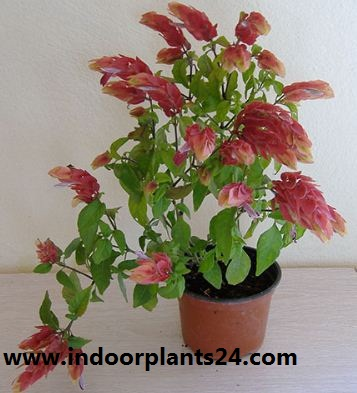 BELOPERONE GUTTATA indoor house plant image