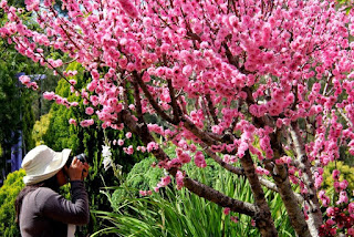 Gambar Bunga Sakura Paling cantik di Jepang 7000