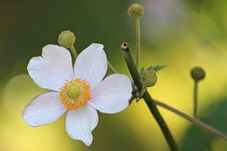 bunga anemone di indonesia