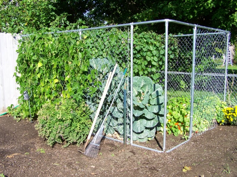 The wonderful fortex pole bean for Kitchen garden fence