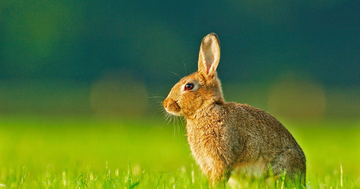 Cute Pet Animals Wallpapers Lovable Images Download Rabbits Pictures Beautiful