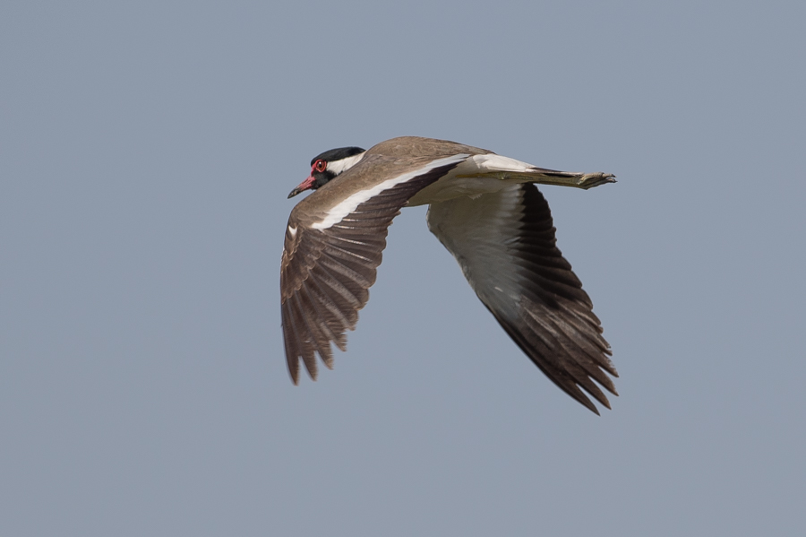 Red-wattled Lapwing – Khafrah Marsh