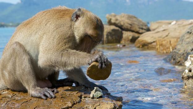 151225120147_monkey_stone_tool.jpg