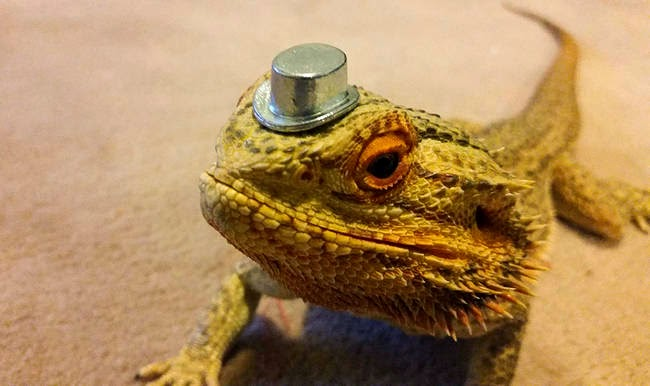 This cute bearded dragon named Pringle (10 pics) | Amazing ...