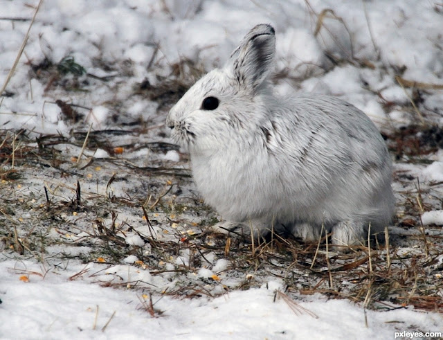 Snowshoe Hare facts and information 5
