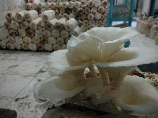 Cara Budidaya Jamur Tiram di Rumah