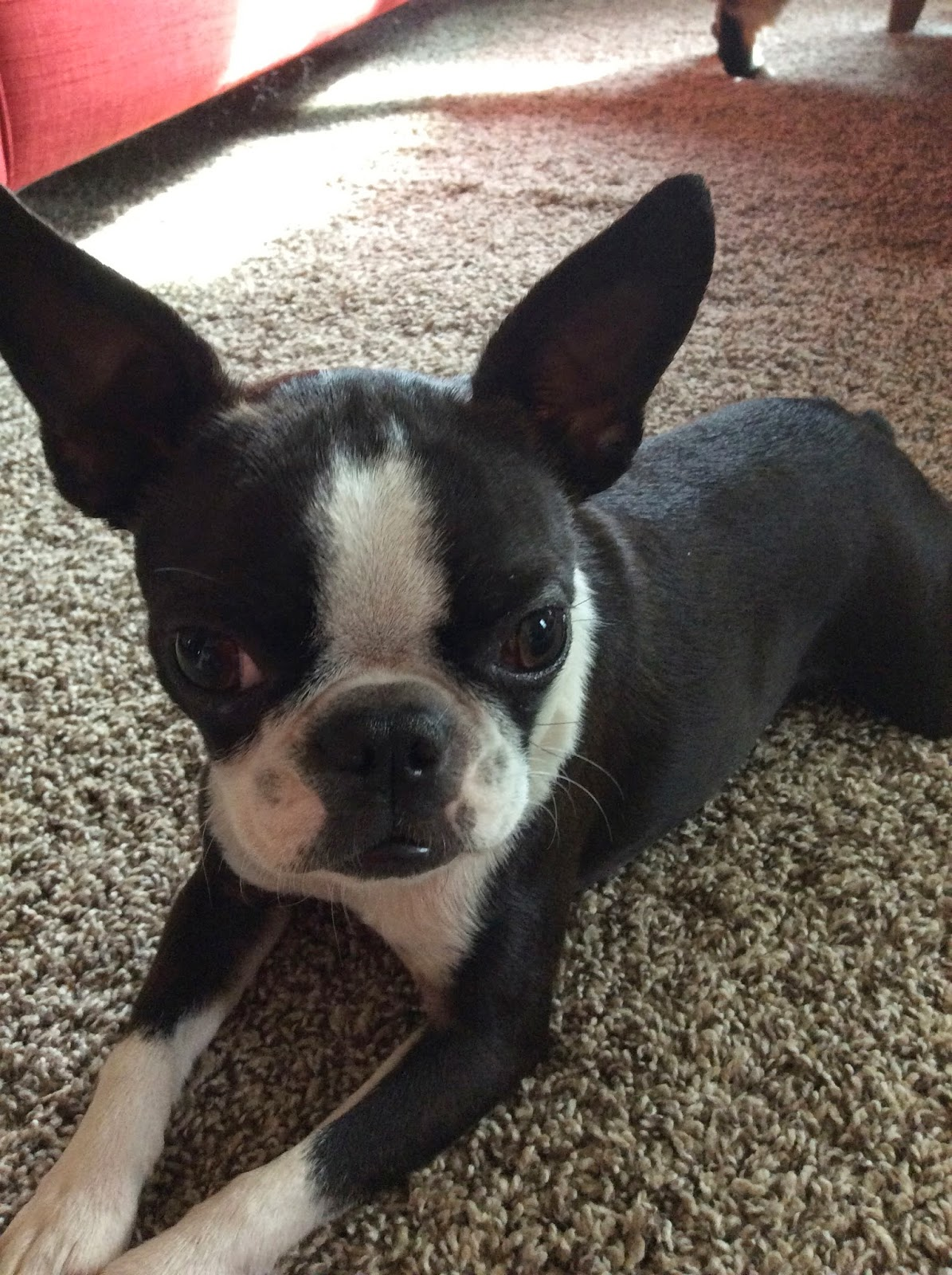Sinead the Boston terrier has huge ears