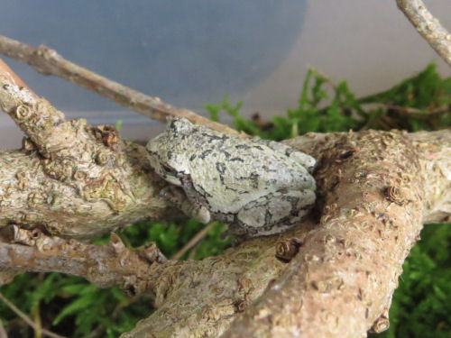 gray tree frog in a terrarium