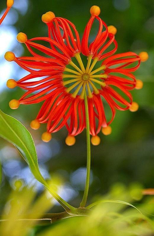 Stenocarpus sinuatus | Backyards Click