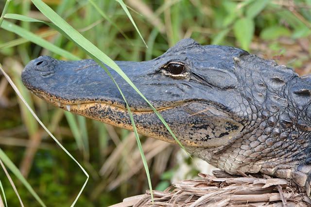 Palm Tree Everglades alligator head