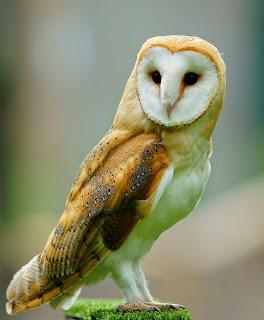 burung hantu barn owl, jenis burung hantu yang relatif lebih susah dipelihara