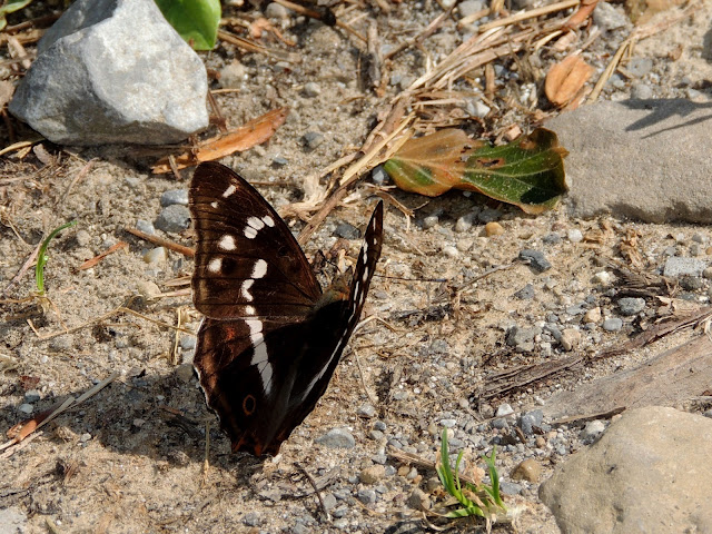Apatura iris color negro
