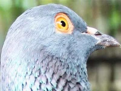Ciri Merpati Tinggi atau Burung Dara Tinggian, Merpati Kolongan, Burung Dara Kolongan