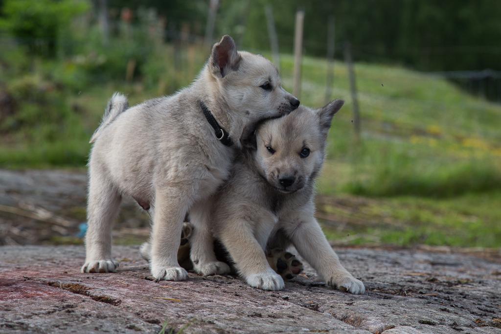 Norwegian Buhund Vetstreet dog side stories: Norw...