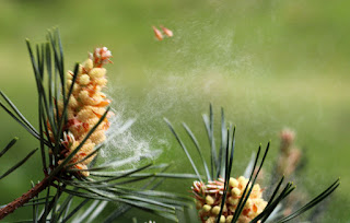 Pollen exploding out of a pine nut