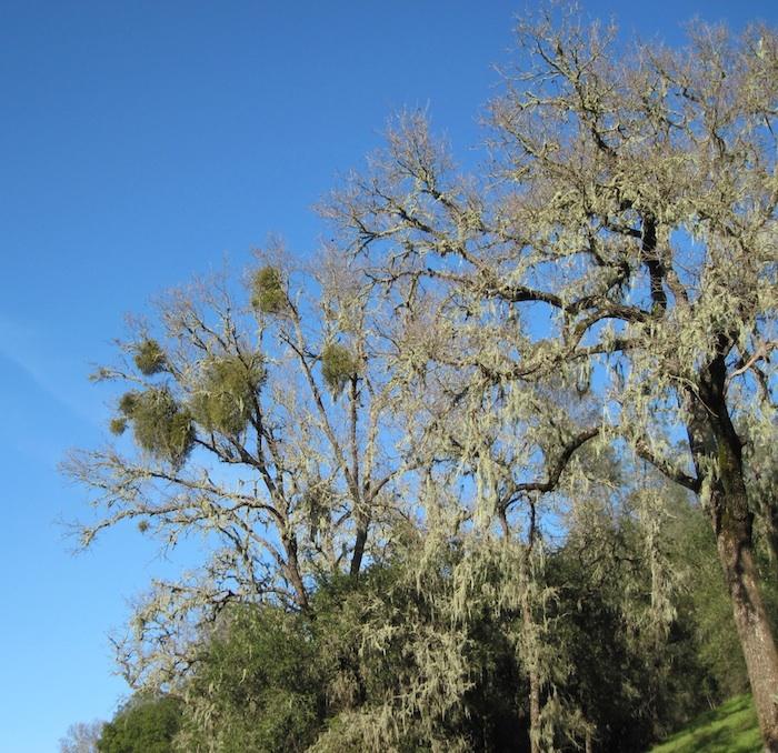 Spanish Moss and Mistletoe Together on Oak Trees , © B. Radisavljevic