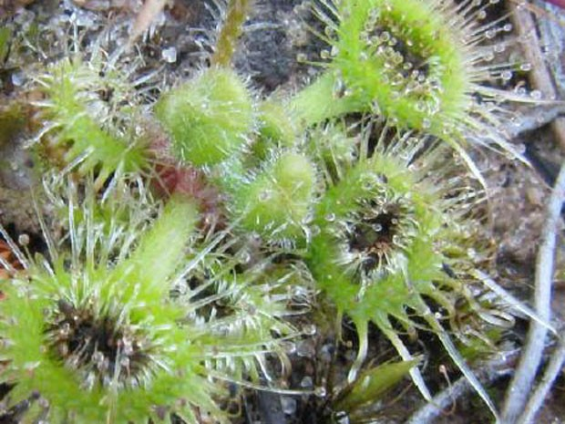 Planta Carnívora (Drosera Glanduligera) Usa Tentáculos Para Capturar Insetos