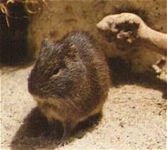 Tschudi cavy the ancestor of guinea pigs
