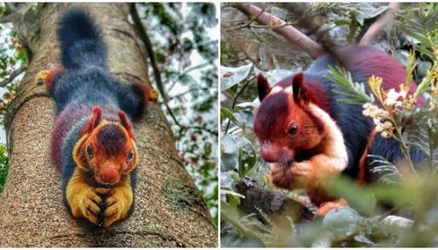 πολύχρωμοι σκίουροι Μαλαμπάρ