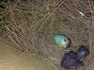 Burung Kacer - Masa Mengeram dan Menetas Anakan burung Kacer