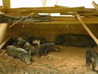 Nuôi lợn rừng cho lãi cao