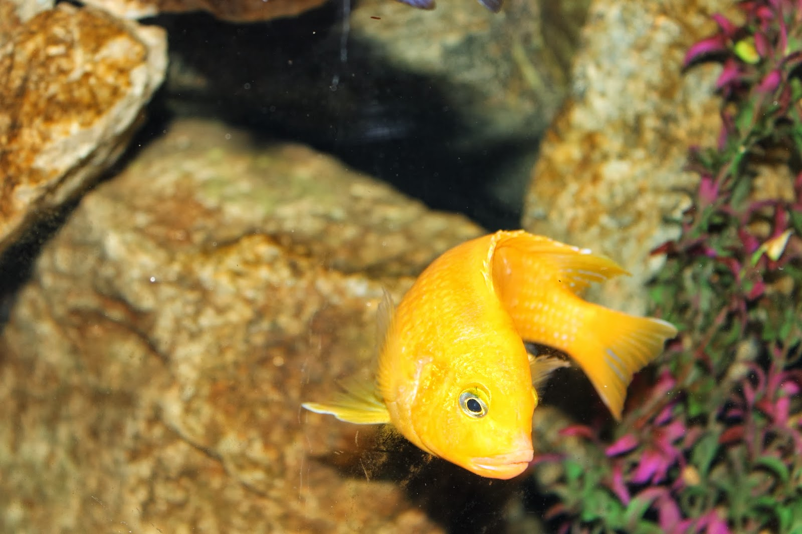 What length are kenyi cichlids mature