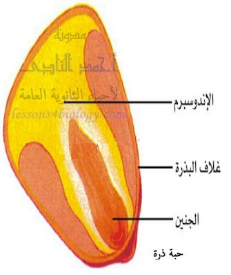 حبة ذرة إندوسبرمية