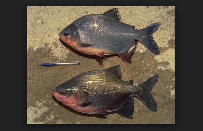 Makanan Favorit Ikan Bawal