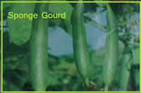 sponge gourd vegetable
